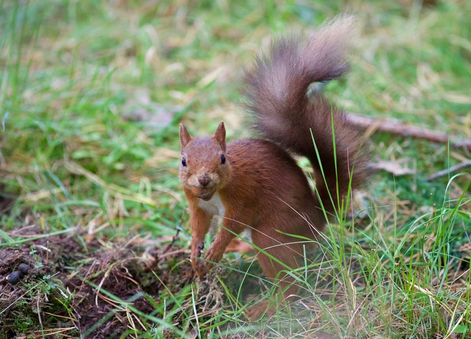 red squirrel the potting shed aviemore