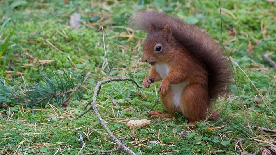 red squirrel at the potting shed wild life hide