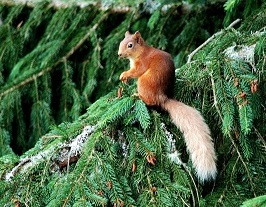 Red-Squirrel-at-The-Potting-Shed