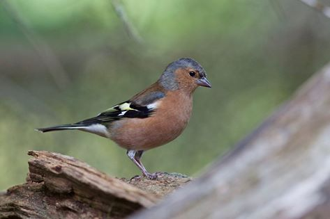 chaffinch at the potting shed tearoom