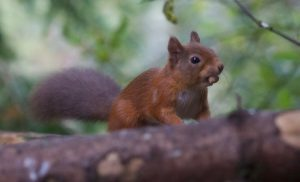 red squirrel - the potting shed tearoom