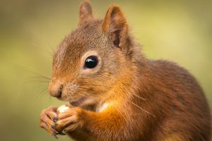 red squirrel at wild life hide, aviemore