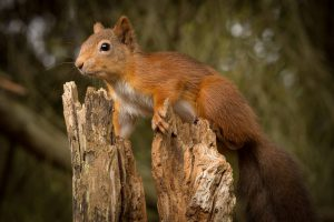 red squirrel at the pottting shed hide, aviemore