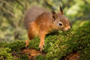 red squirrel at the potting shed tearoom aviemore