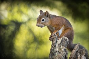 red squirrel at the wildlife hide