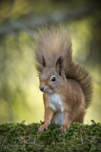 red squirrel at inshriach, wild life hide
